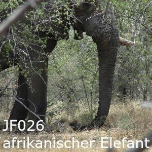 JF026 afrikanischer Elefant